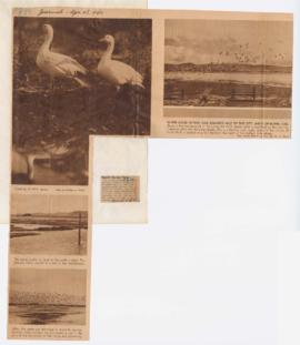 Images of geese taken by William Finley and article discussing Pacific College benefit party