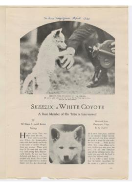 """Skeezix, a white coyote: A rare member of his tribe is interviewed"""