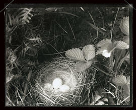 Bird nest and eggs