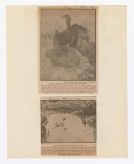 Images of Brandt's cormorant and pintail ducks