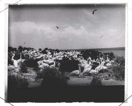 Pelican colony